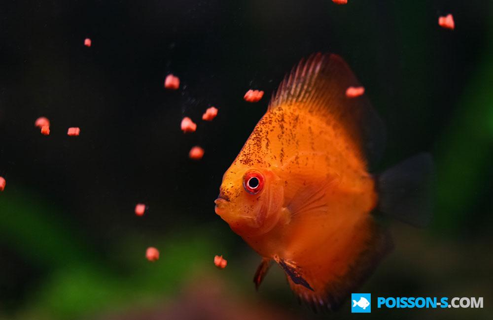Photos poisson for Alimentation poisson aquarium
