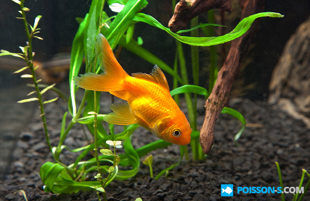 Photos poisson for Alimentation guppy poisson rouge