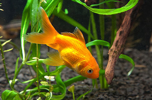 Entretien aquarium eau douce poisson rouge for Ou placer aquarium poisson rouge