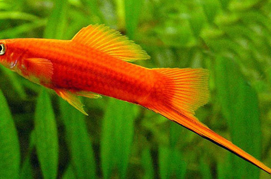 Petit poisson d 39 eau douce for Poisson aquarium douce